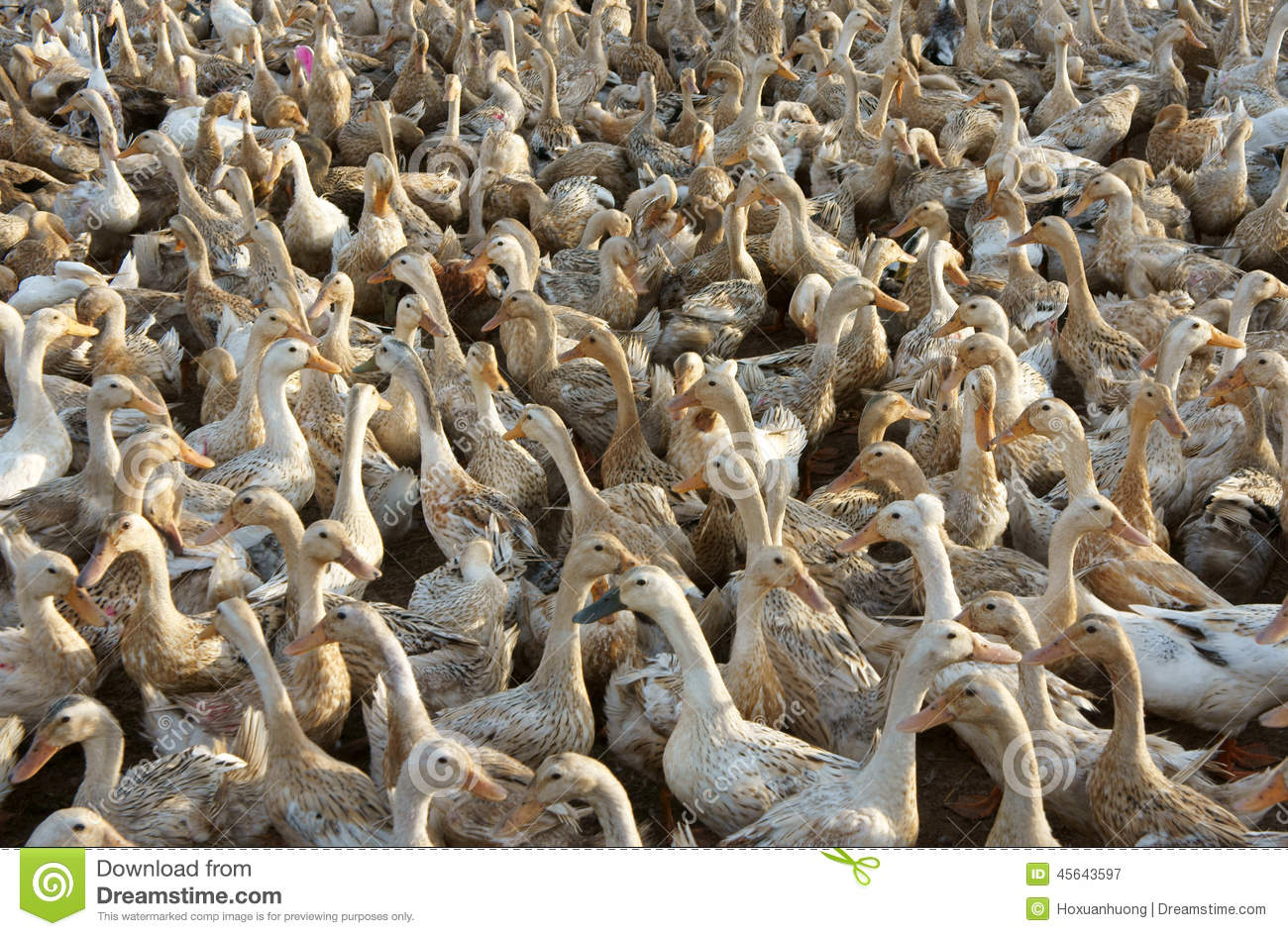 Flock of white duck stock image  Image of birds, food - 45643597