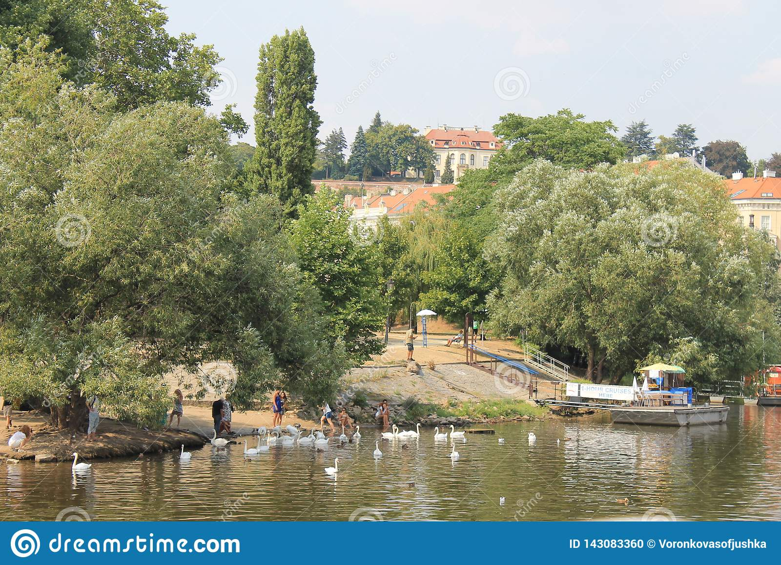 A flock of white swans on the Vltava river in Prague Czech Republic