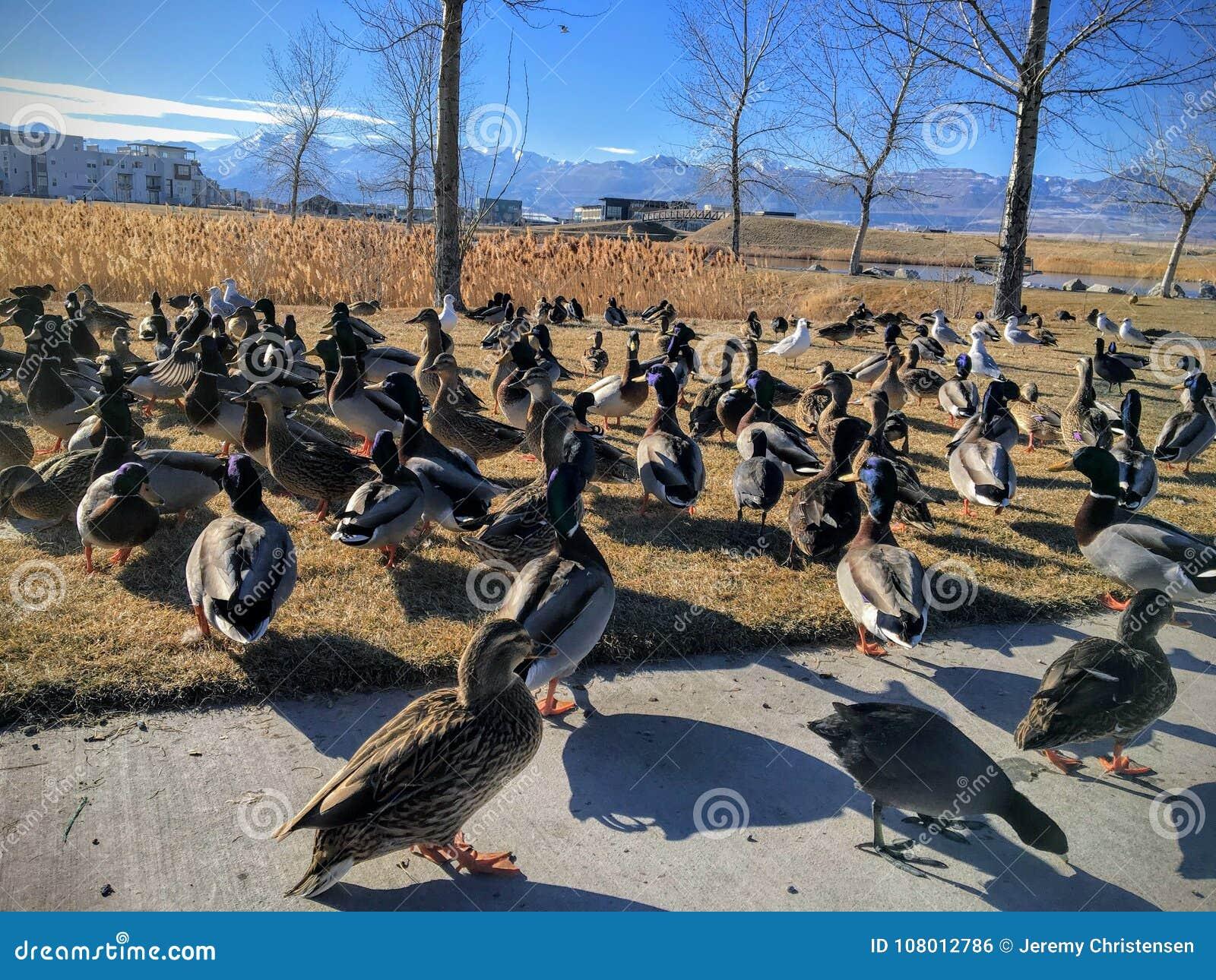 A flock of wild ducks by Daybreak lake in South Jordan Utah. Migratory birds on vacation being fed by locals.