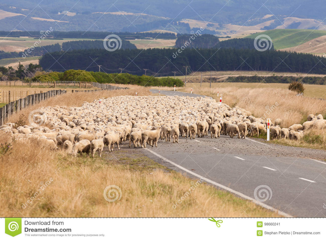 flock of wool sheep crossing country road stock image image of