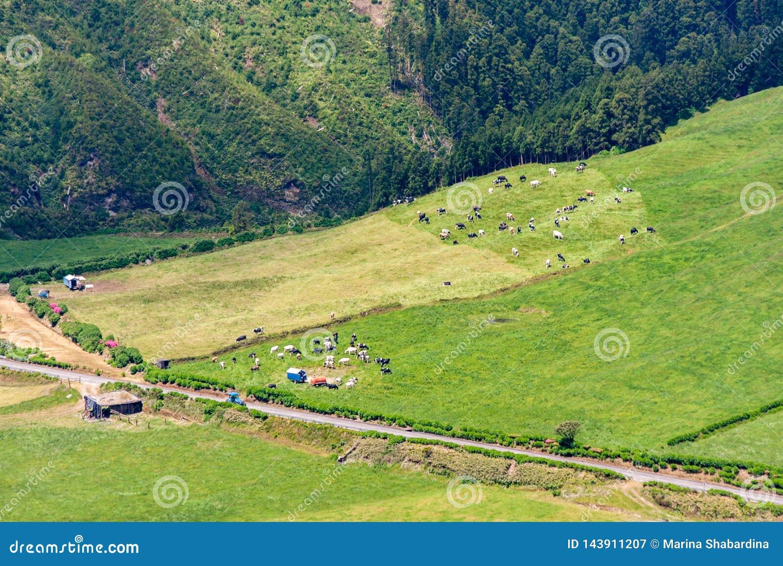 Flockar av kor betar på ett gräsfält bredvid en lantlig väg och en ladugård