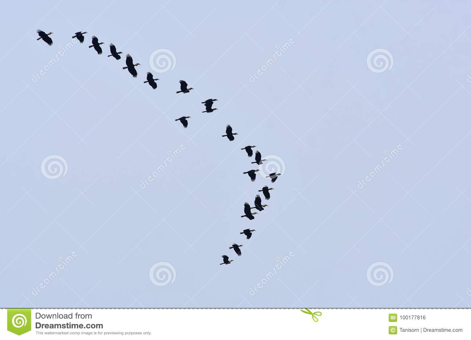 Flockas av slätt-pouchedhornbillen, Thailand