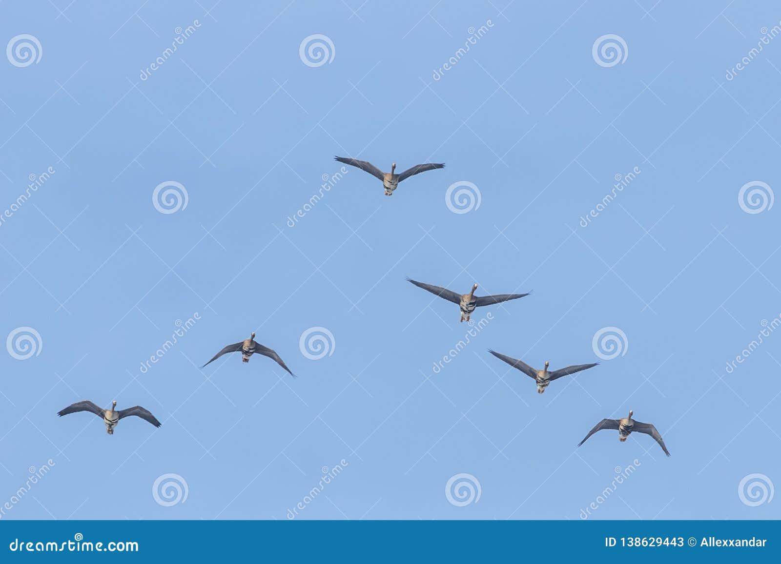 Flockas av större vitt beklätt gässflyg i v-bildande, blå himmel