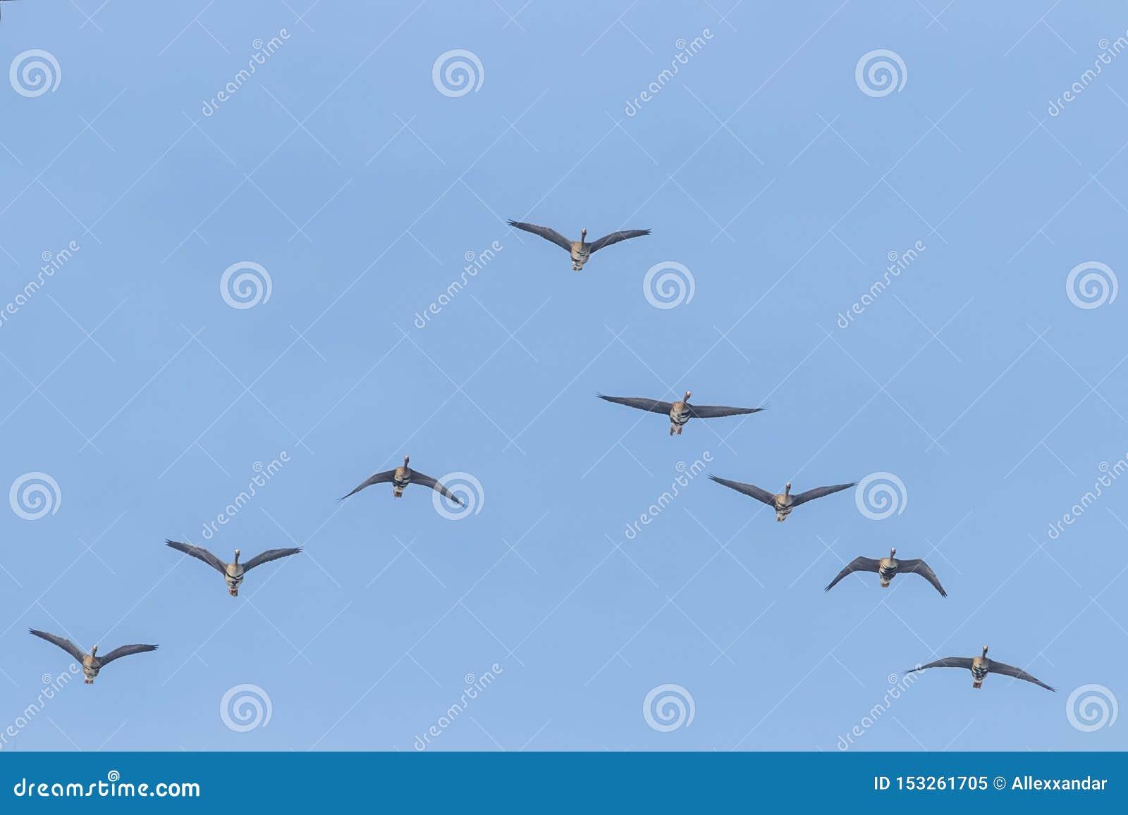 Flockas av st?rre vitt bekl?tt g?ssflyg i v-bildande, bl? himmel