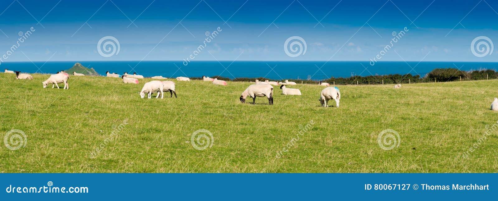 Flockas får