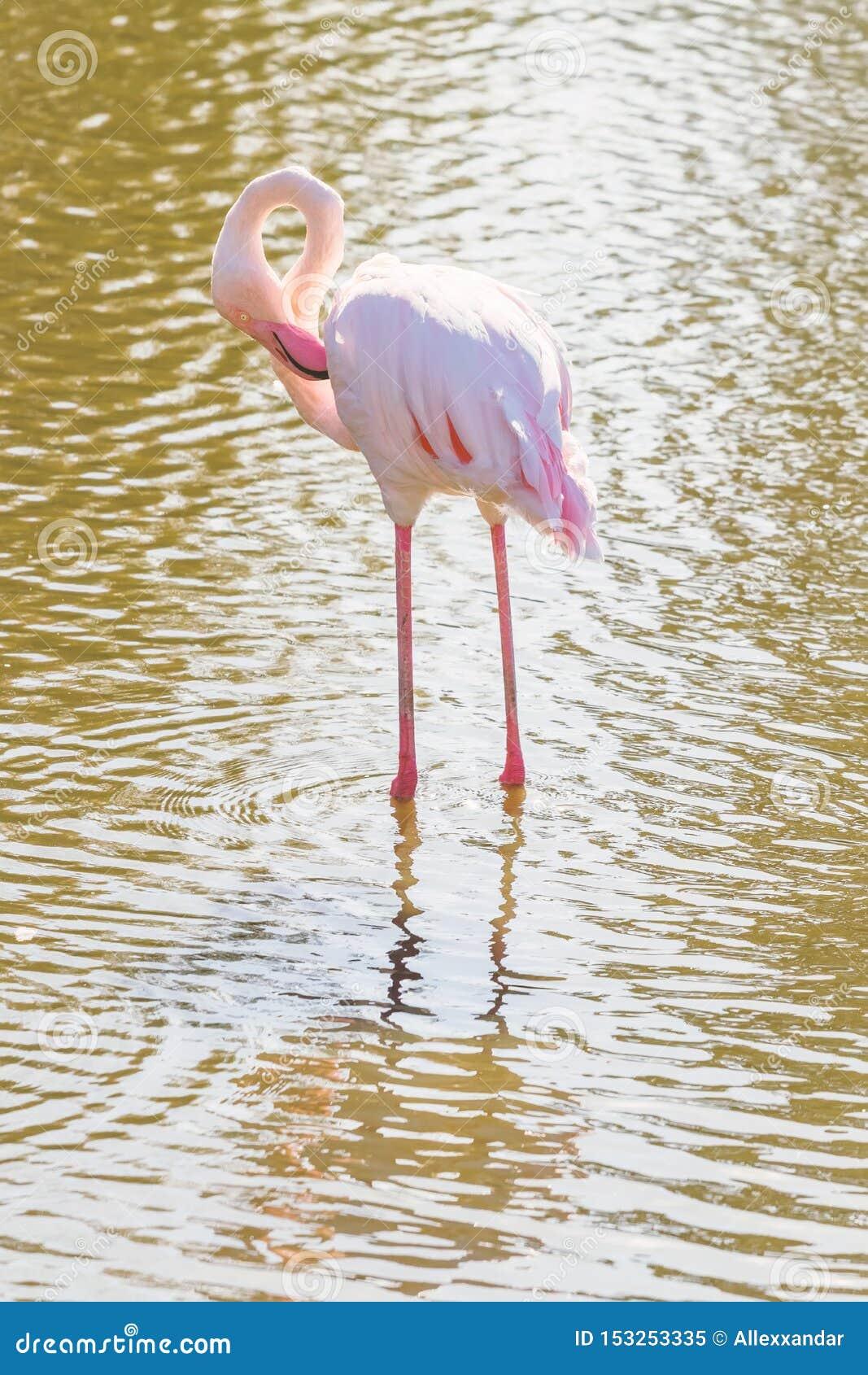 Flockas rosa flamingo som g?r i vatten i naturlig milj?