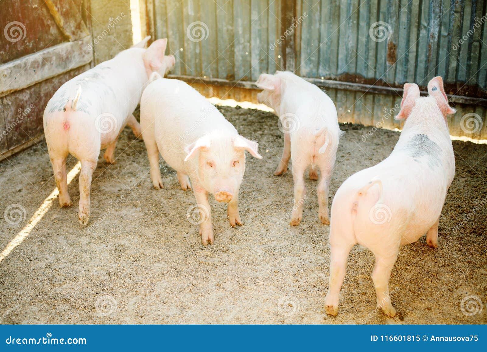 Flocken av den unga spädgrisen på hö och sugrör på svinavel brukar Åkerbruk och boskapproduktion