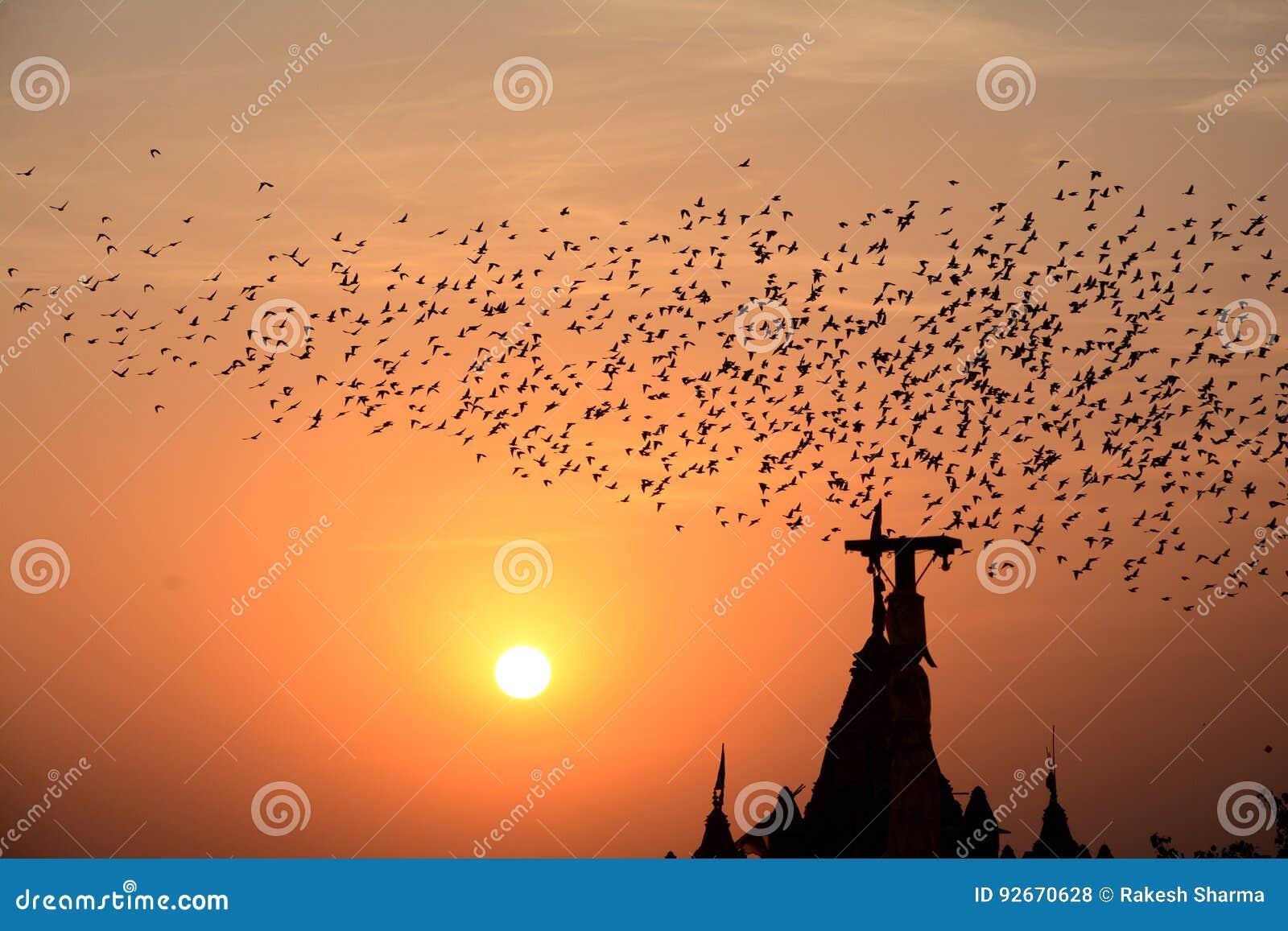 FLOCKING BEHAVIOR IN BIRDS Bikaner Rajasthan