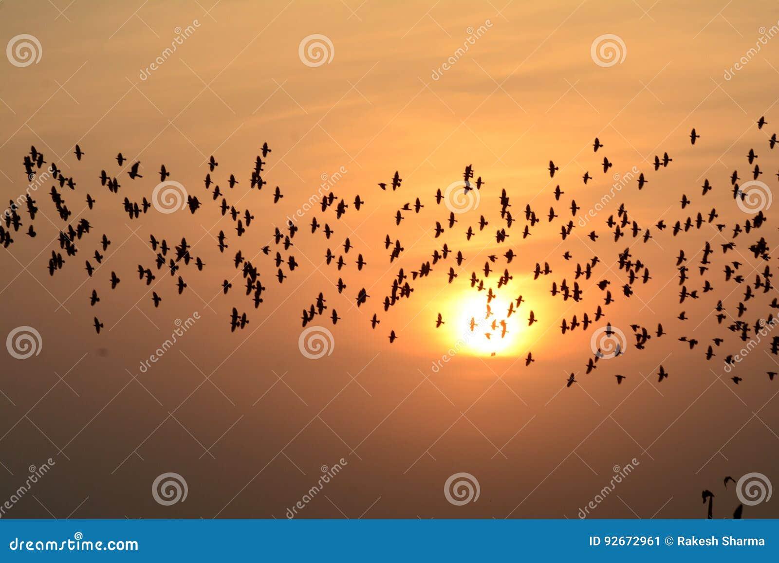 FLOCKING BIRDS IN EVENING SKY BIKANER rajasthan