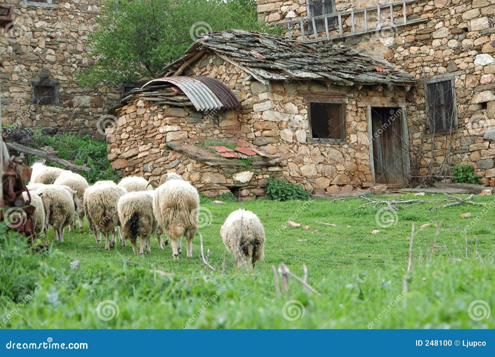 Flocksheeps