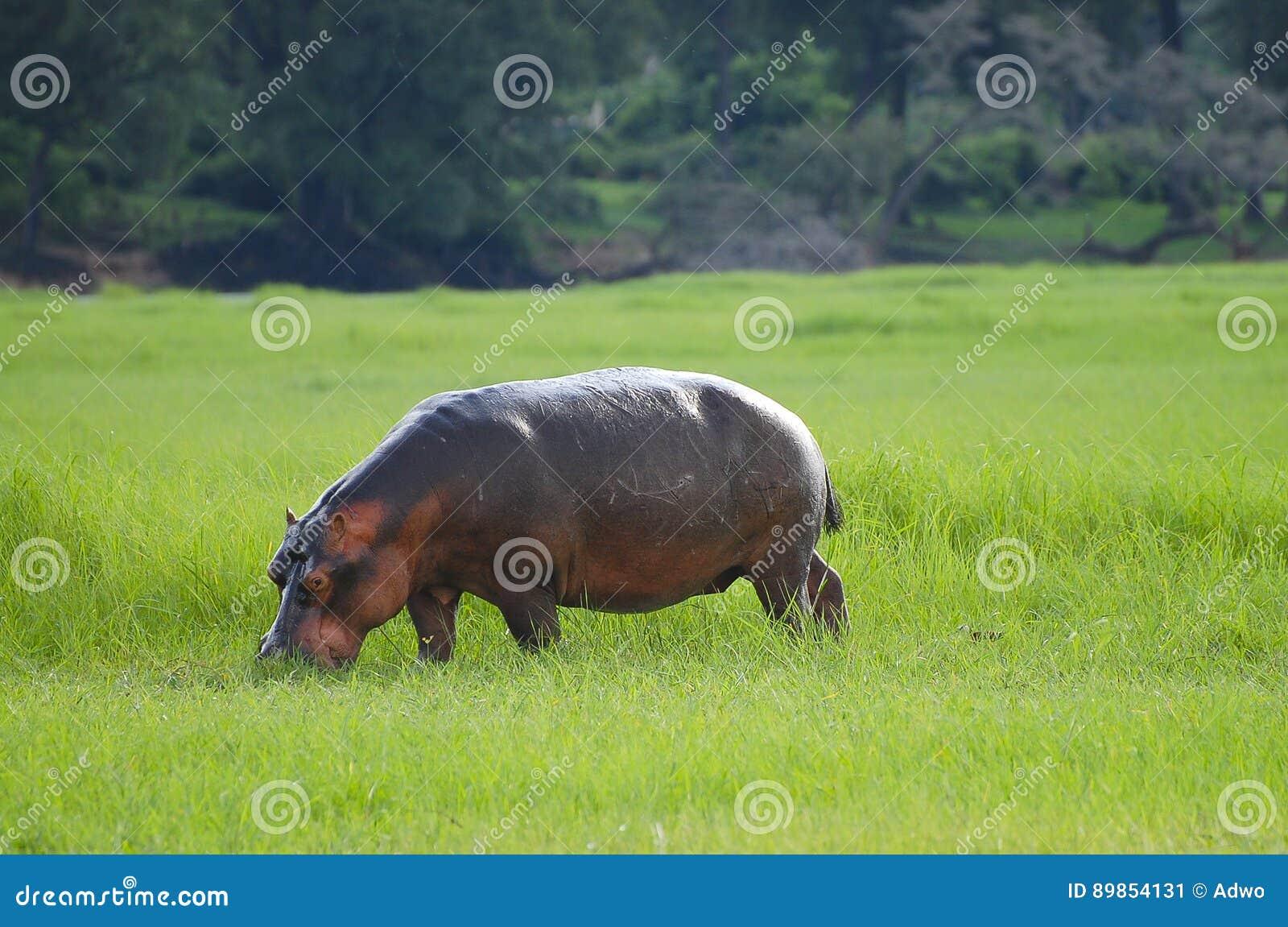 Flodhäst - Chobe nationalpark - Botswana