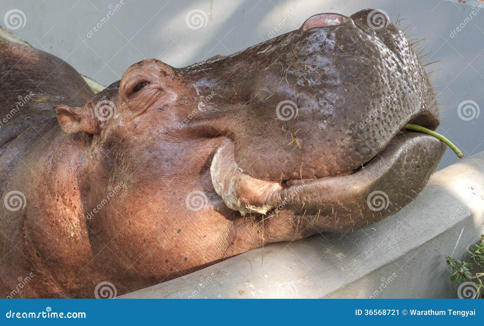 Flodhäst inte fritt