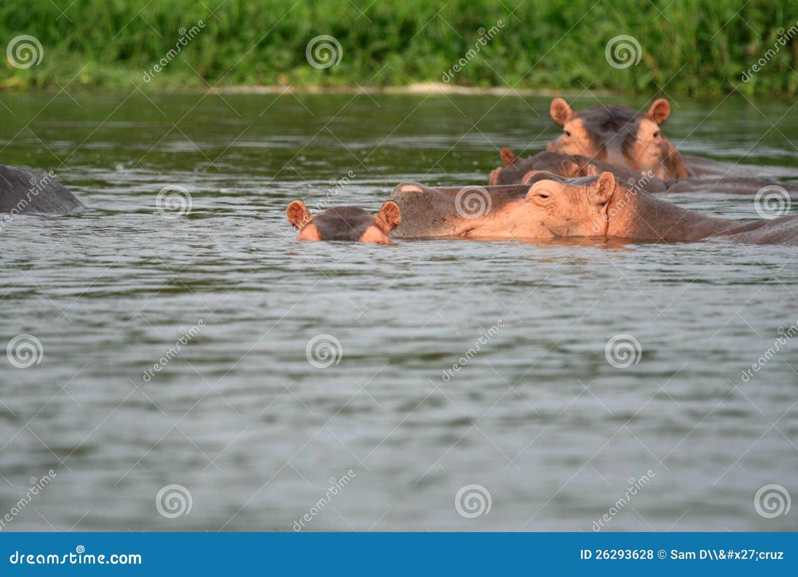 Flodhäst - Murchison faller NP, Uganda, Afrika