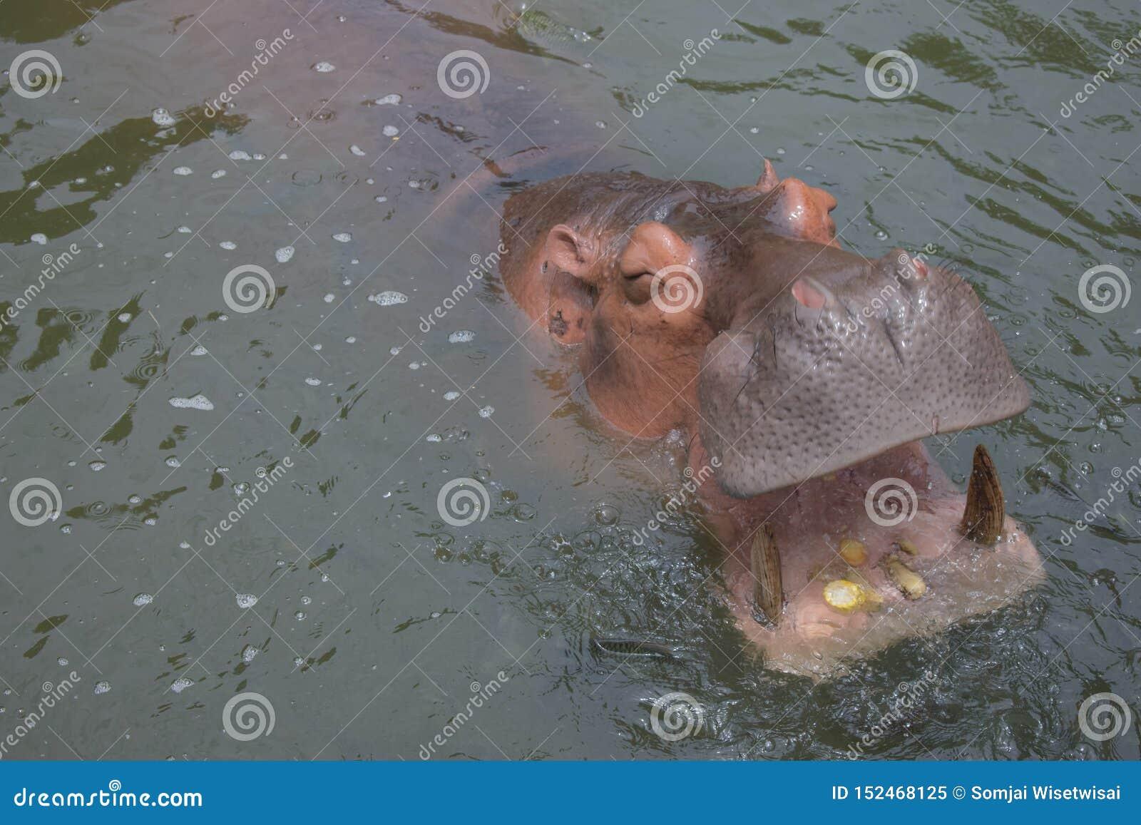Flodhästar äter havre i vattnet som hunger