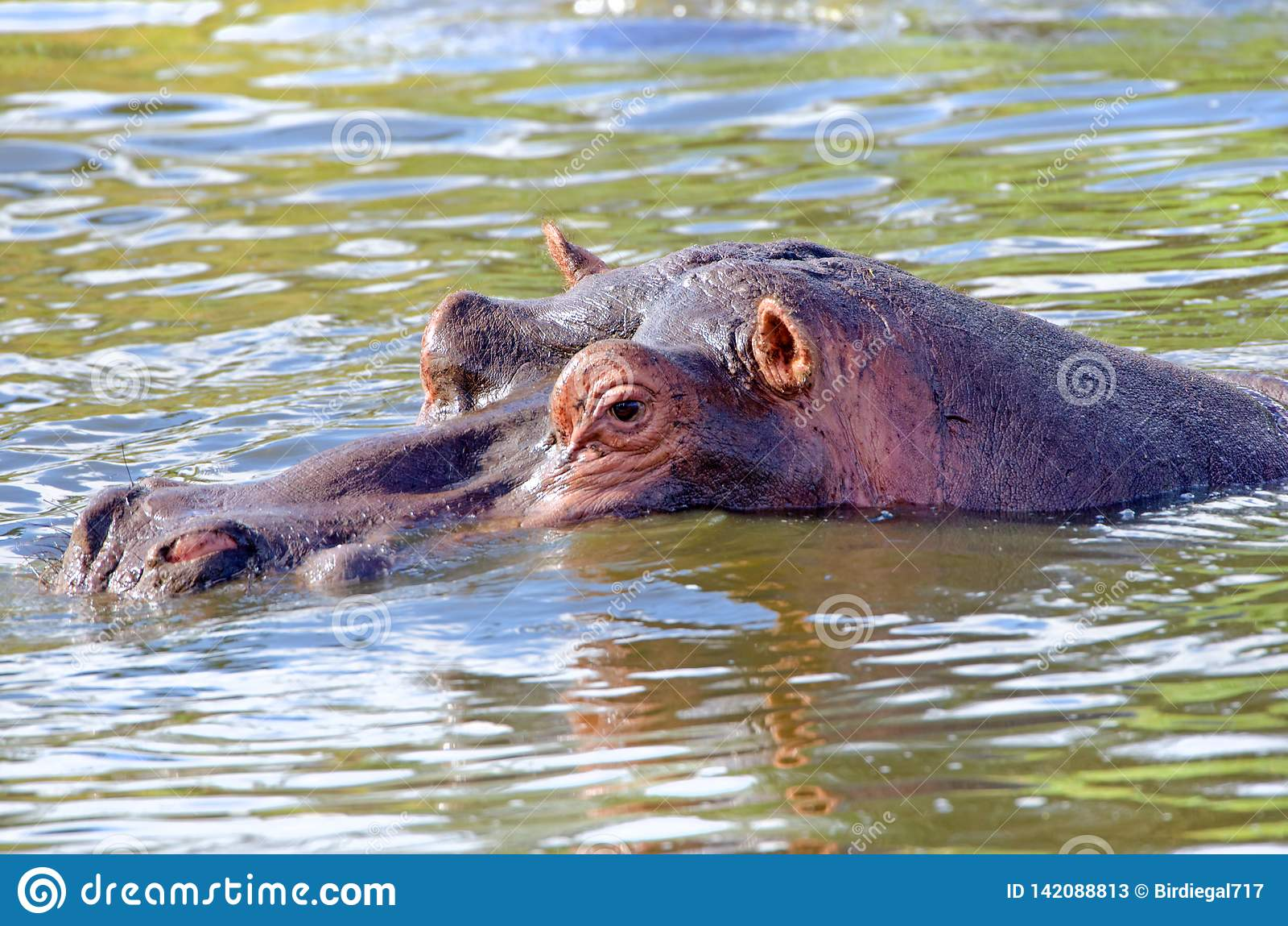 Flodhästen flodhästhalva doppade Kruger nationalpark, Sydafrika