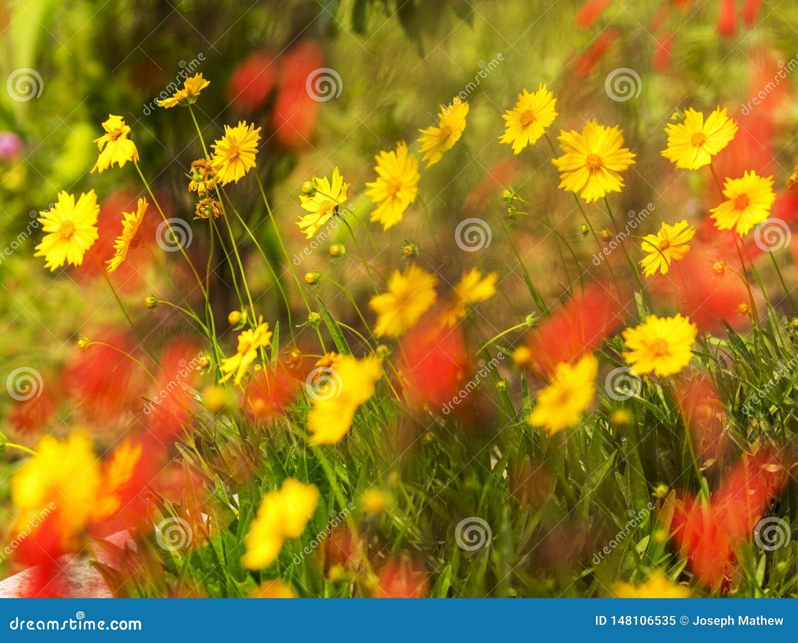 Floers amarelos das margaridas do Coreopsis com as flores vermelhas borradas ao longo de um jardim do pagode da paz de mundo
