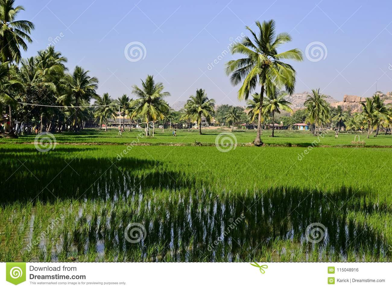 Flooded Rice Fields And Palm Trees Stock Photo - Image of ...