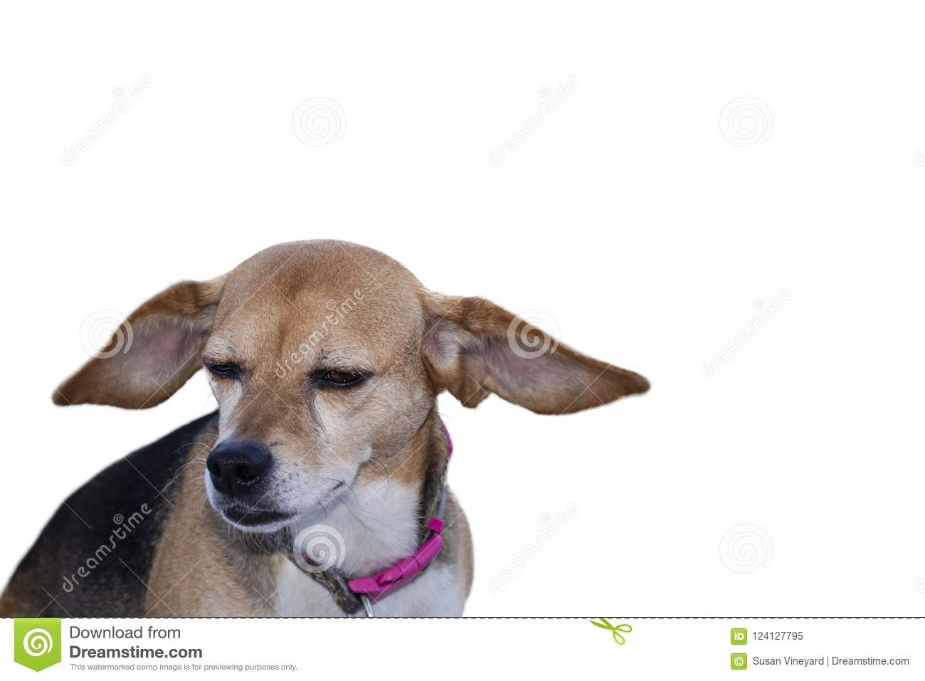 Floppy ears - beagle mix dog with floppy ears flying isolated on white with room for copy