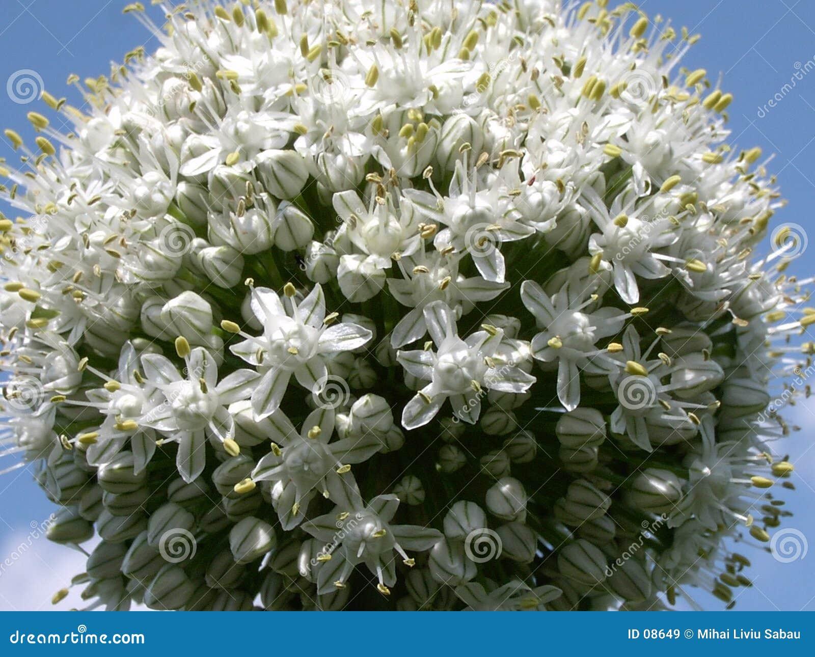 Flor 2 da cebola