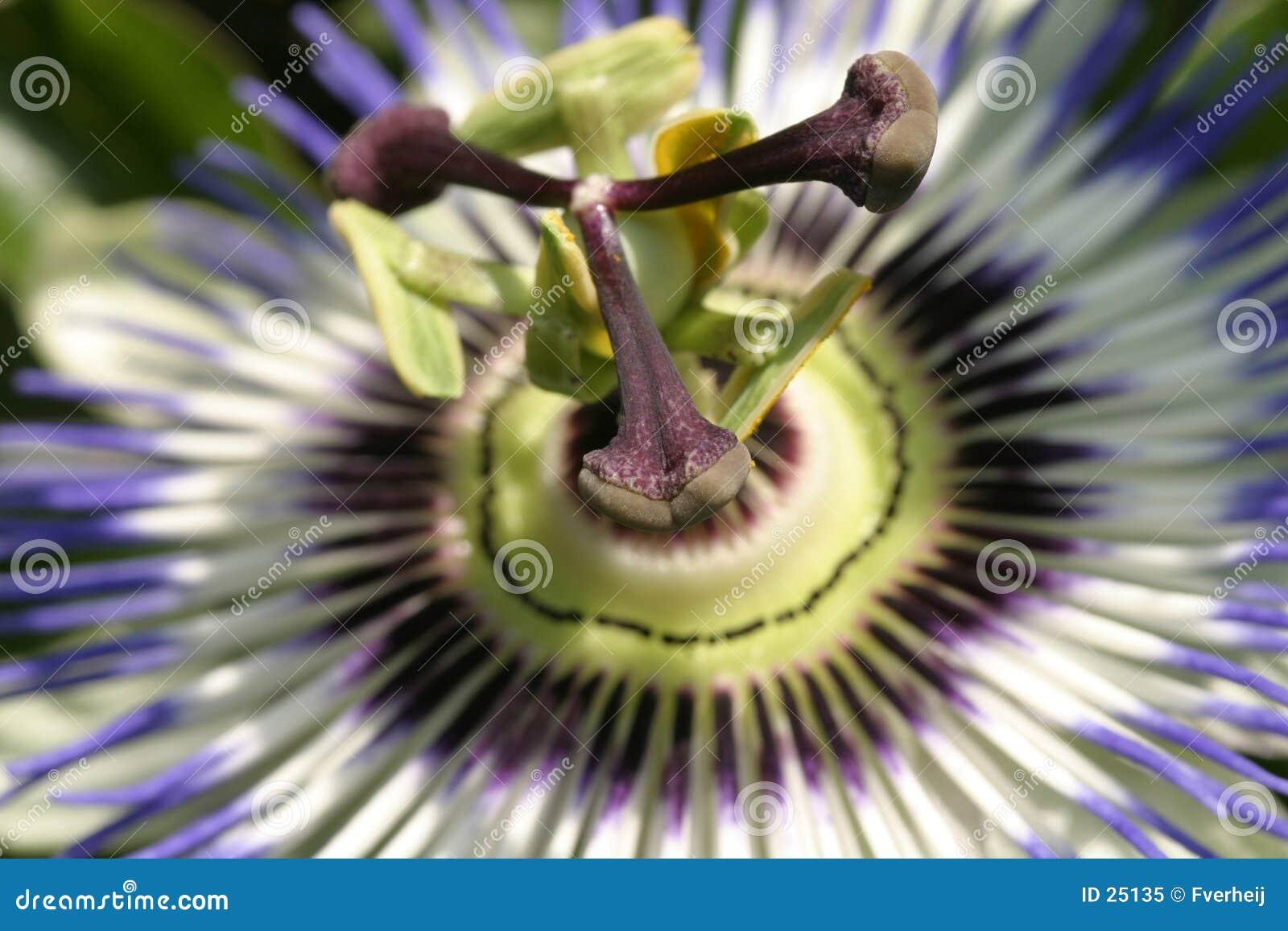 Flor 2 de la pasión de FV