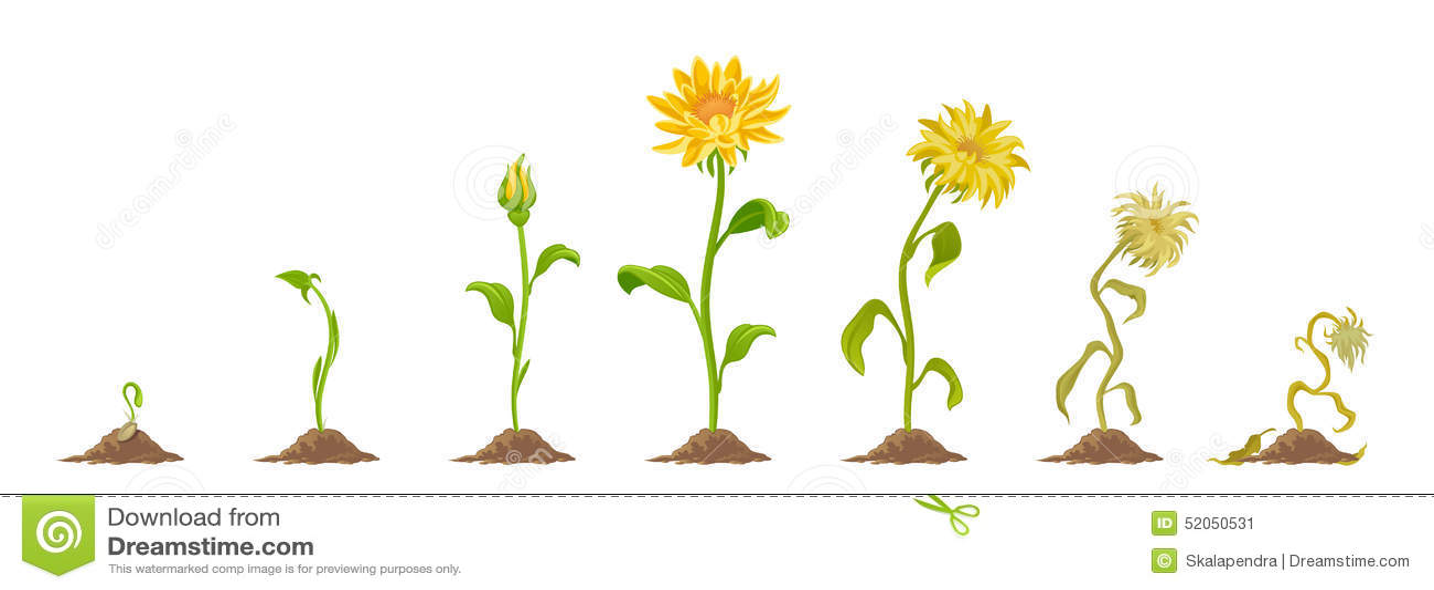 Stock De Ilustraci%C3%B3n Flor Image52050531 on Plant Life Cycle Clip Art