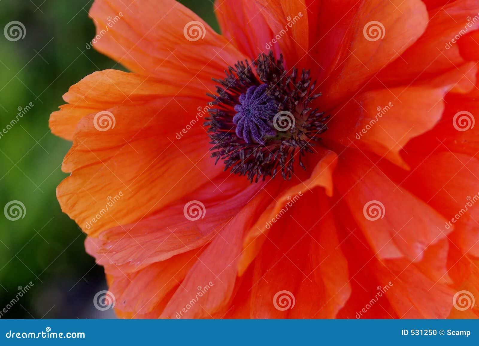 Flor alaranjada da papoila