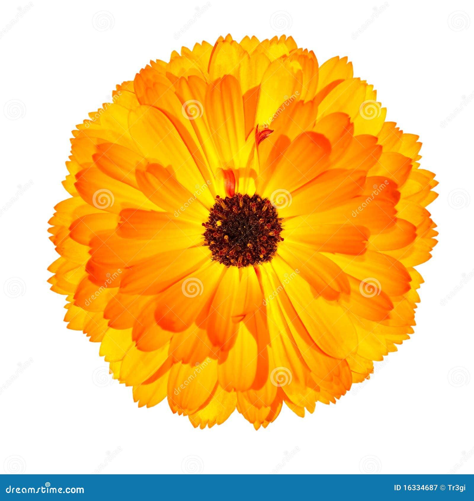 Flor alaranjada de florescência do Marigold de potenciômetro isolada