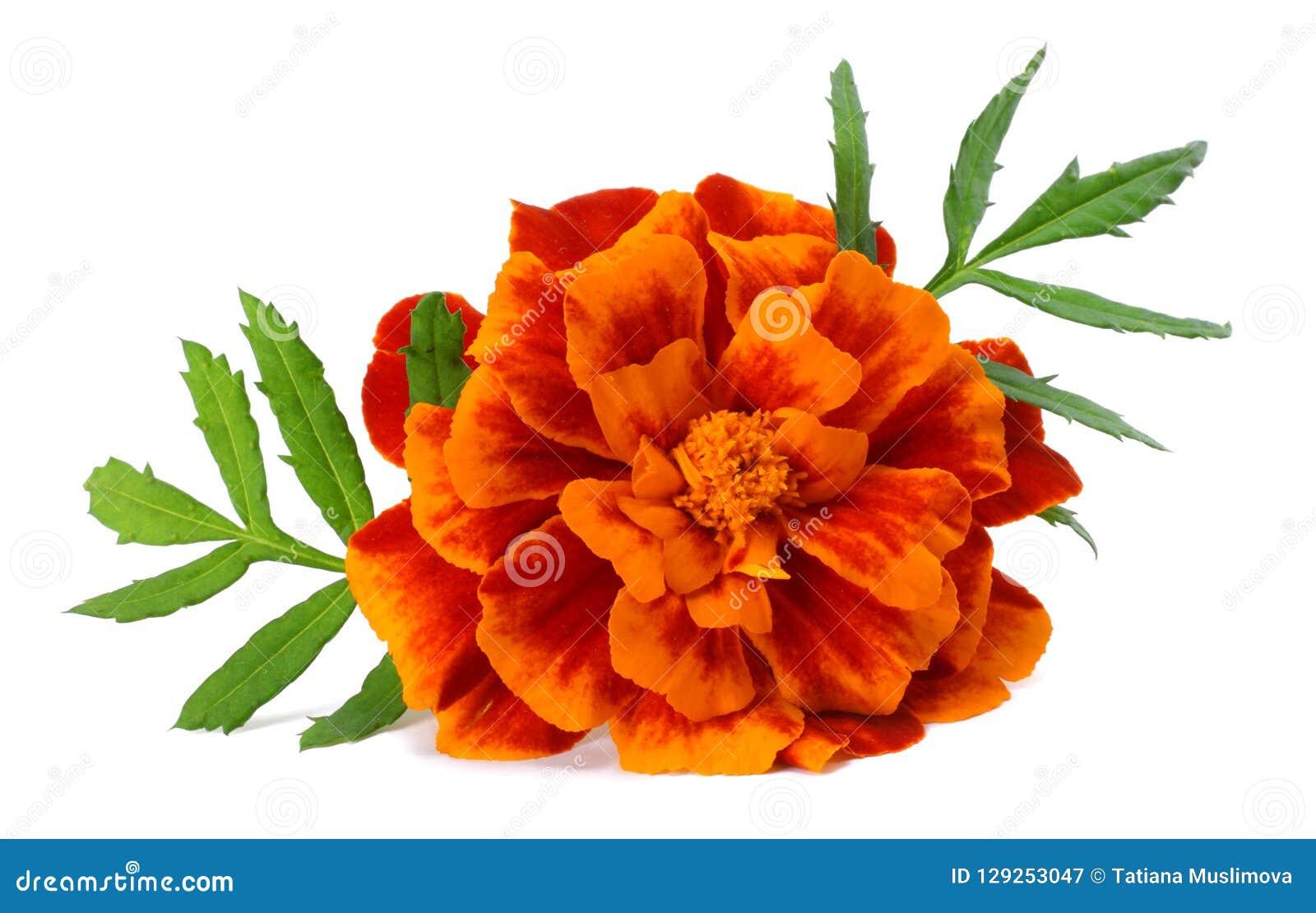 Flor alaranjada do cravo-de-defunto, ereta de Tagetes, cravo-de-defunto mexicano, cravo-de-defunto asteca, cravo-de-defunto afric