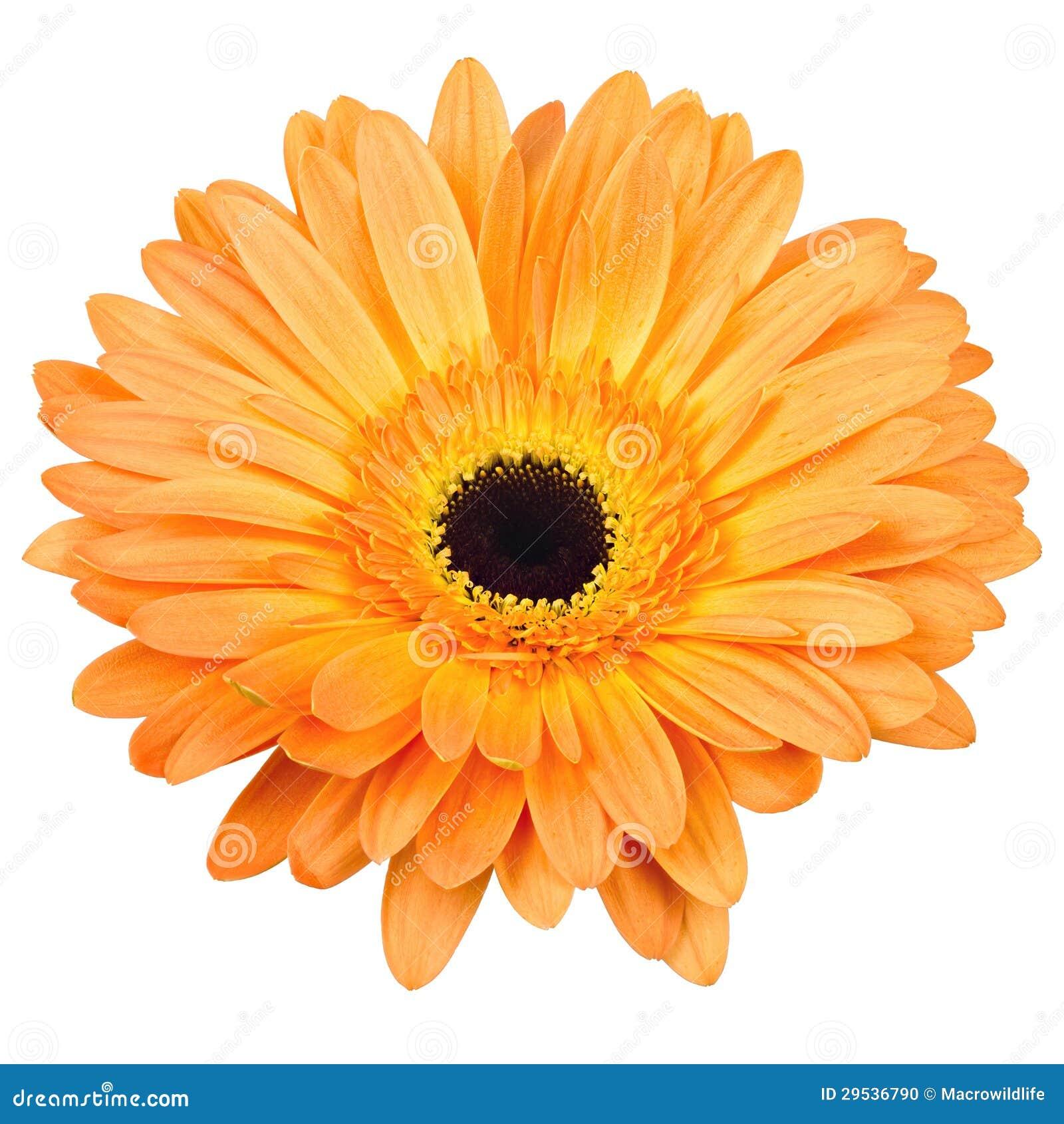 Flor alaranjada do gerber isolada no branco