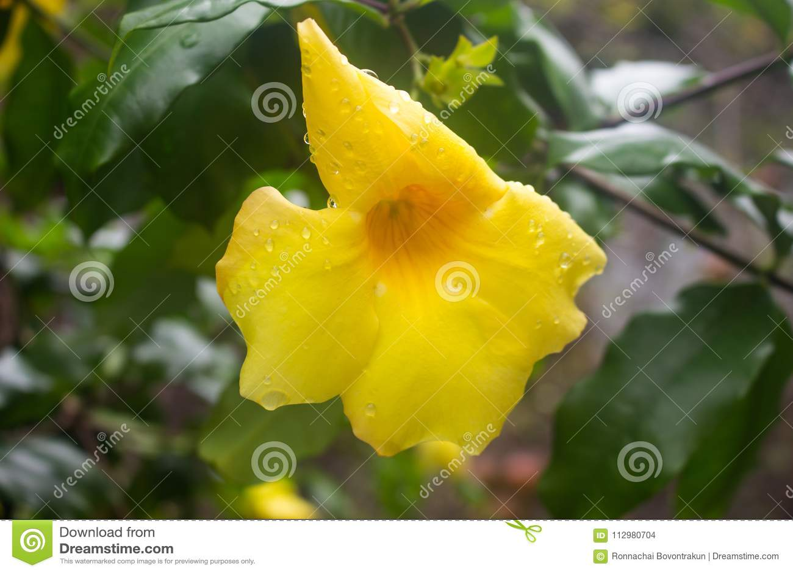 A flor amarela com água deixa cair no fundo verde