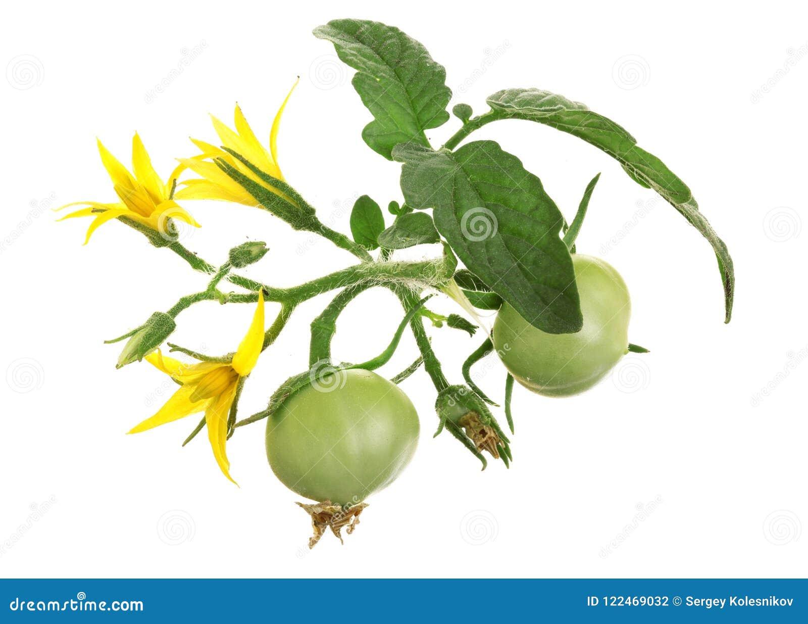 Flor amarela com o tomate verde isolado no fundo do whtie