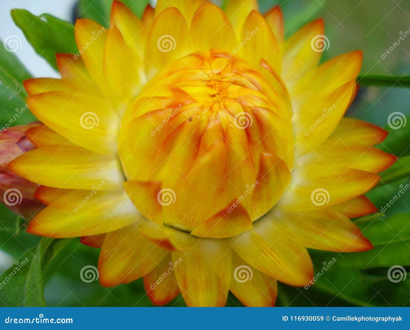 Flor amarela da palha