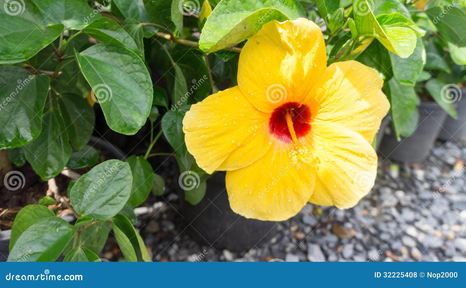 Download Flor Amarela De Florescência Foto de Stock - Imagem de amarelo, pétala: 32225408