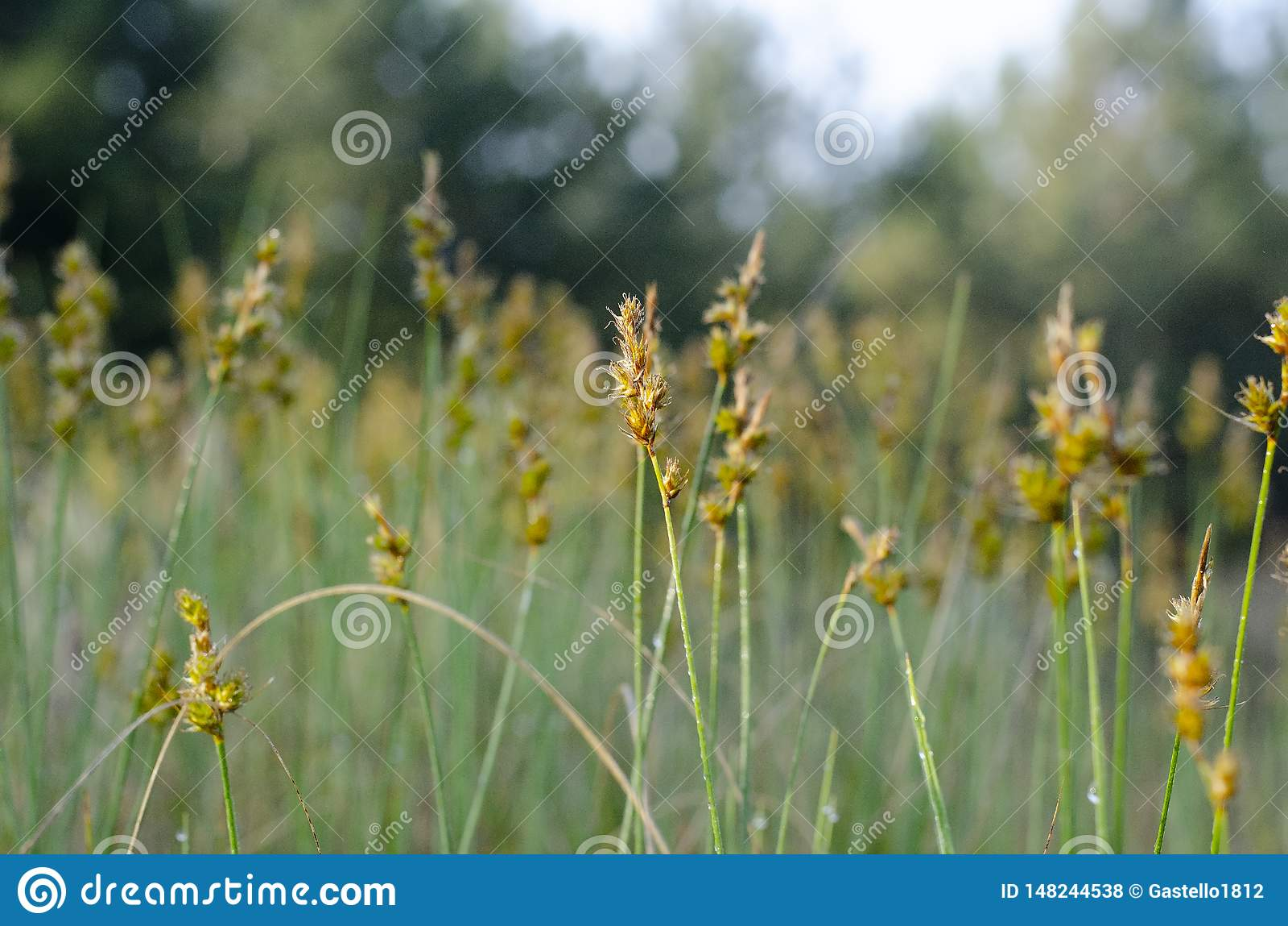 Flor amarela de Zubrovka no centro com borrão em torno das bordas