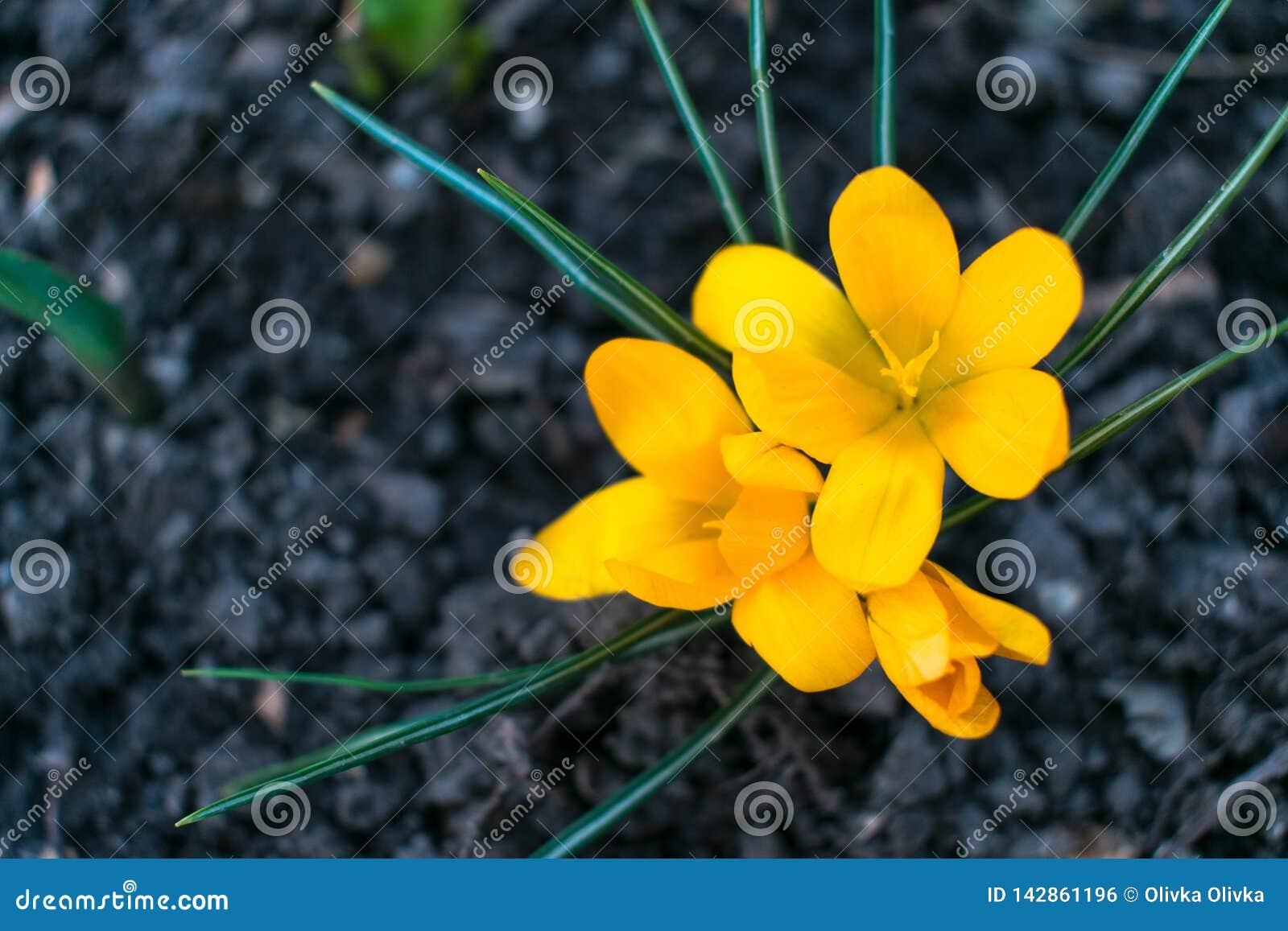 Flor amarela do açafrão