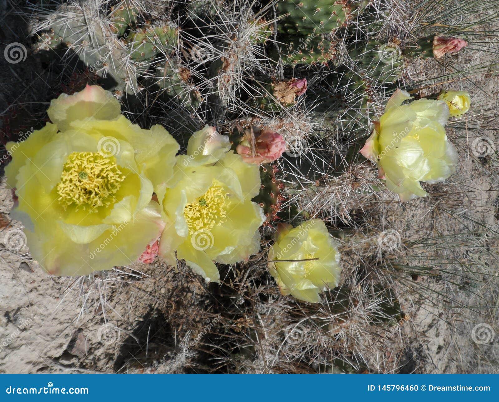 Flor amarela do cacto nas flores em junho