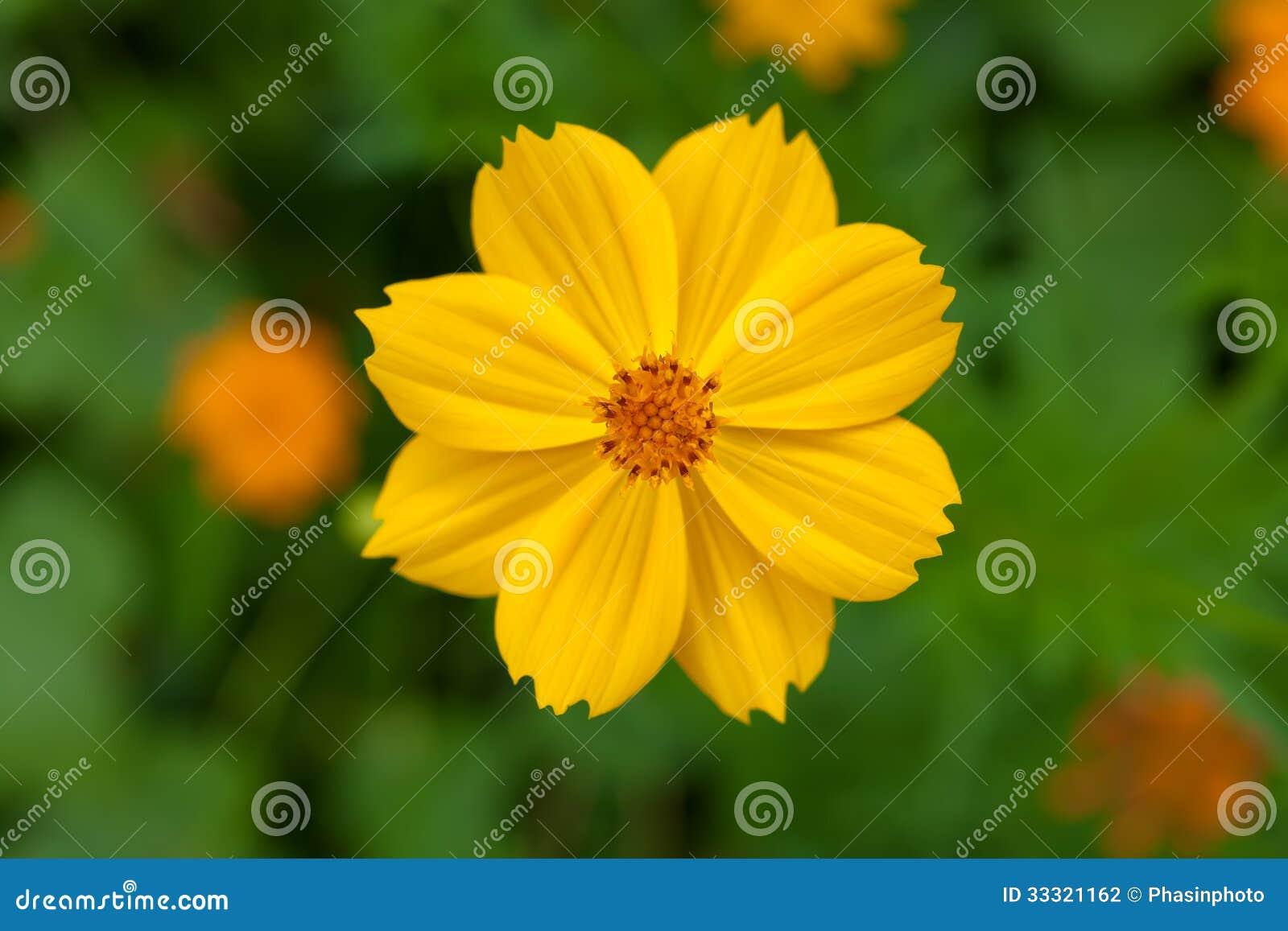 flor de jardim amarela:Flor Amarela Do Cosmea No Jardim Fotografia de Stock – Imagem