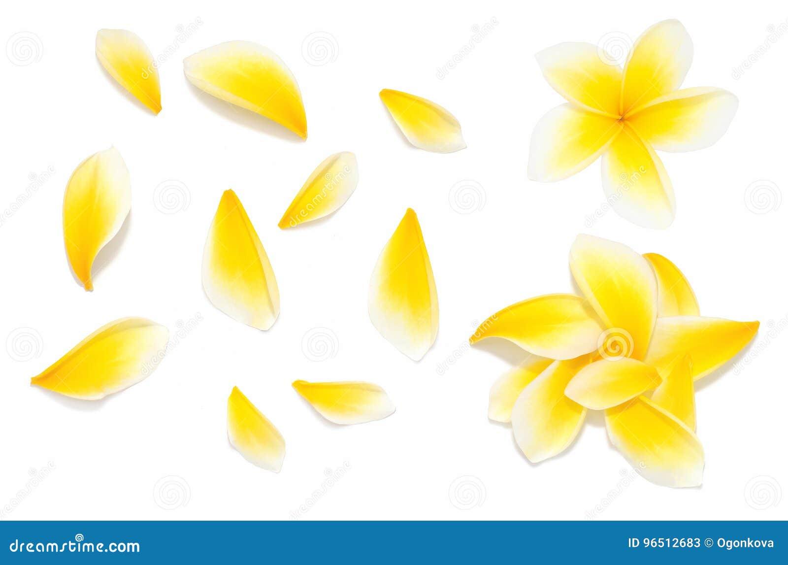 A flor amarela do frangipani ajustou-se com as pétalas no fundo branco dos ângulos diferentes