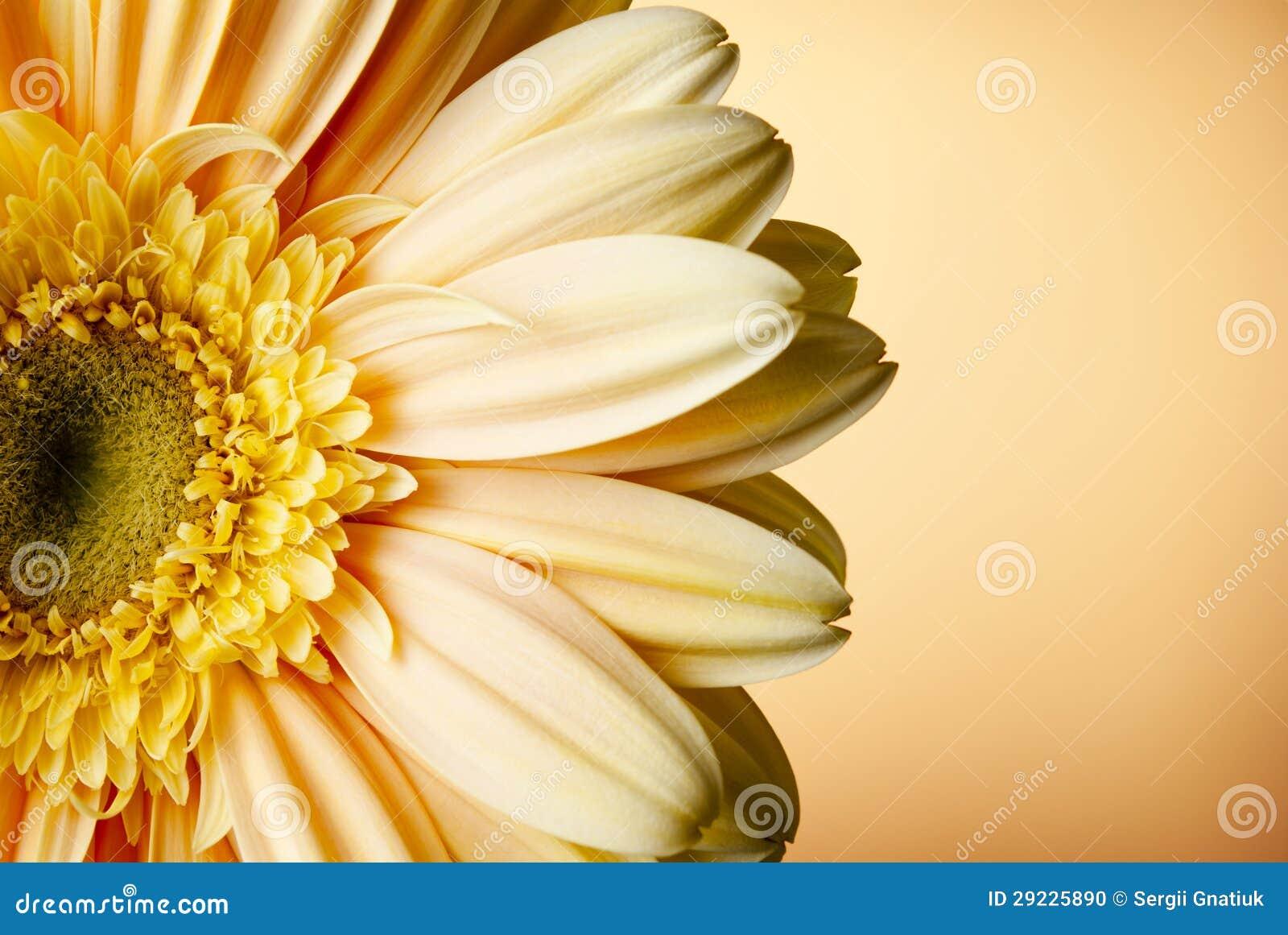 Download Flor amarela do gerbera foto de stock. Imagem de decoração - 29225890