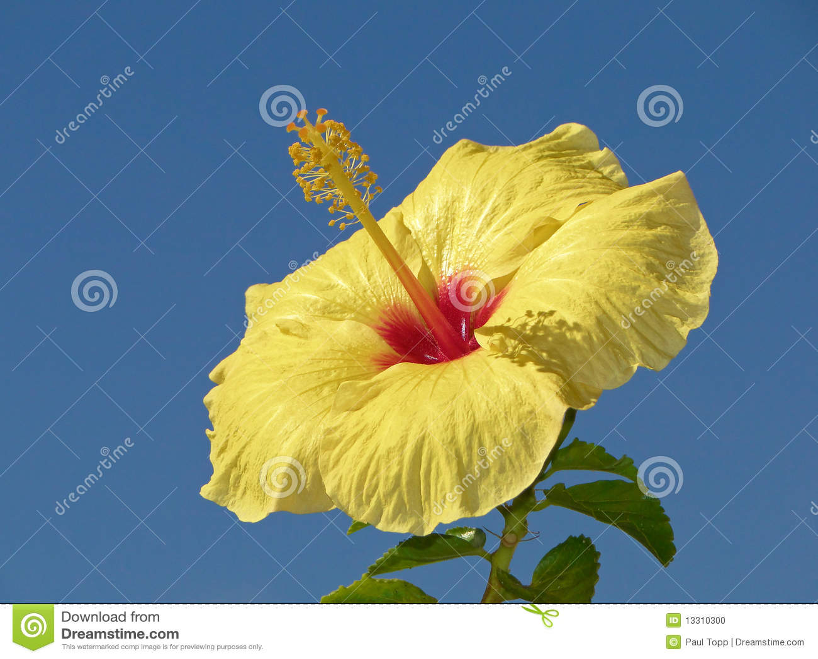 Flor amarela do hibiscus