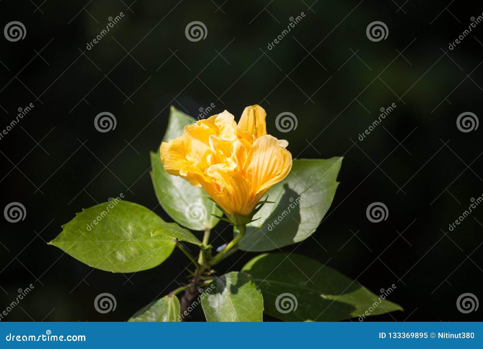 Flor amarela do hibiscus no fundo preto do dard
