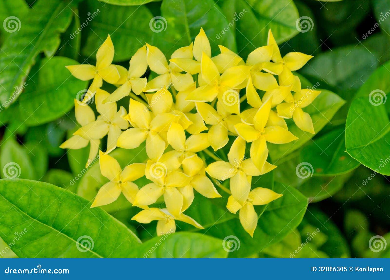 flor de jardim amarela:Flor amarela do ixora no backgroud da folha.
