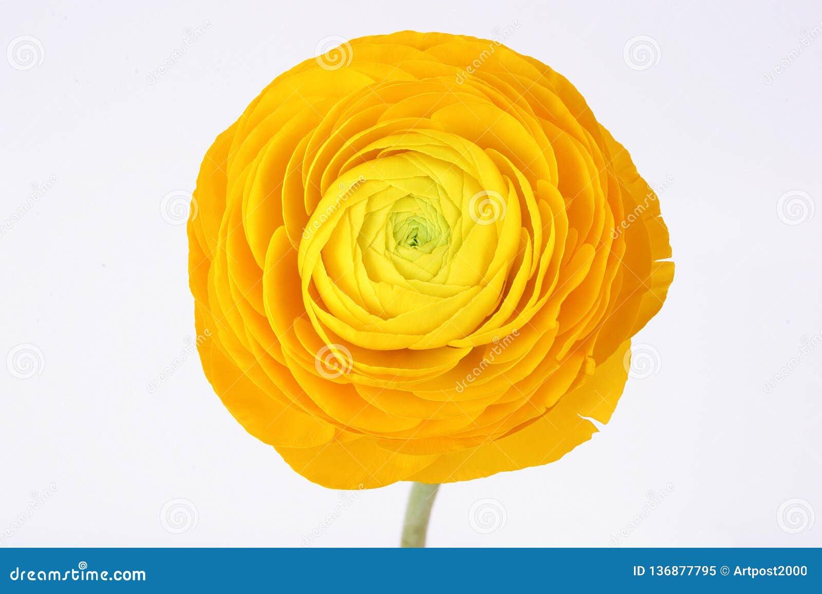 Flor amarela do ranúnculo no fundo branco