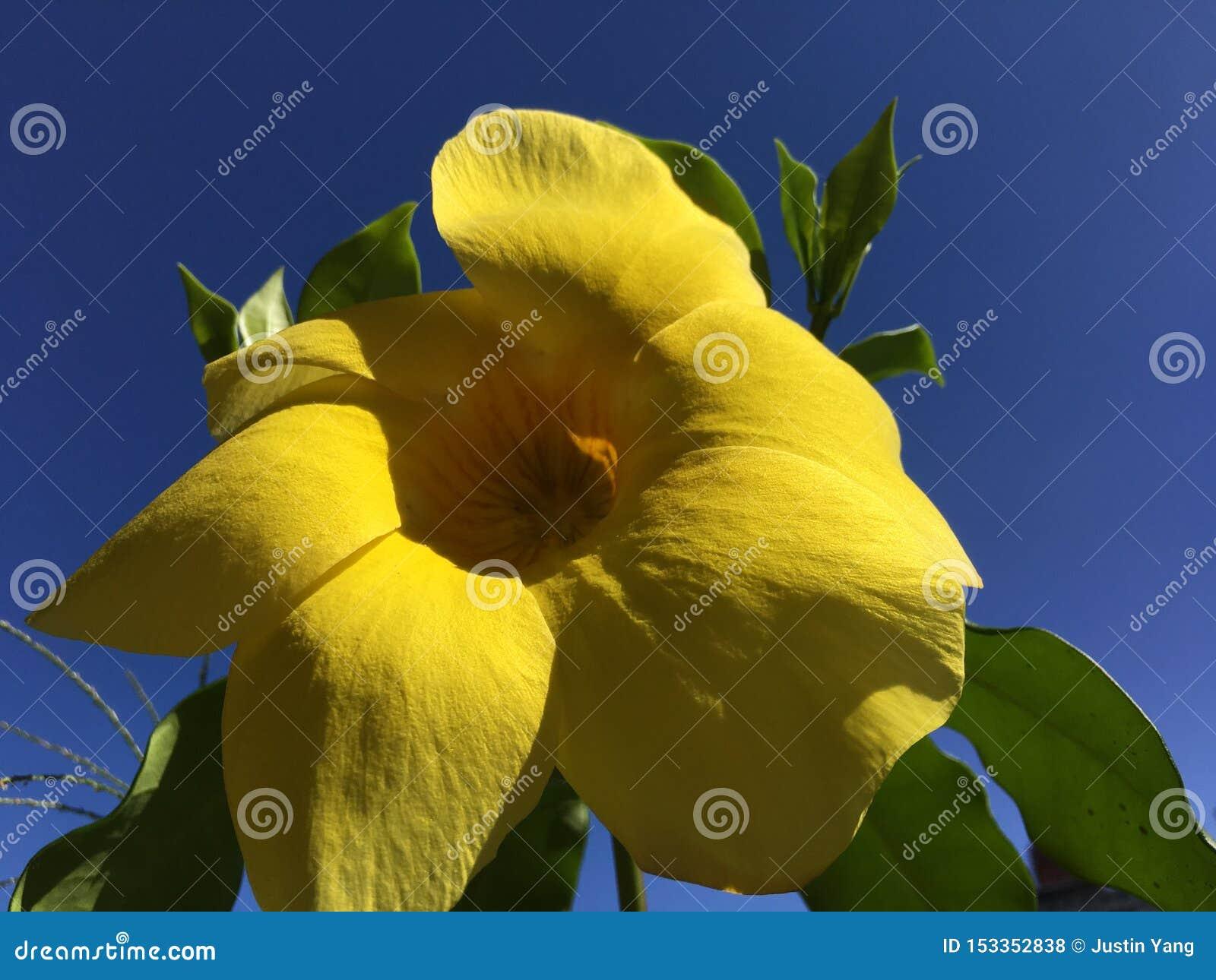 Flor amarela GRANDE e céu azul