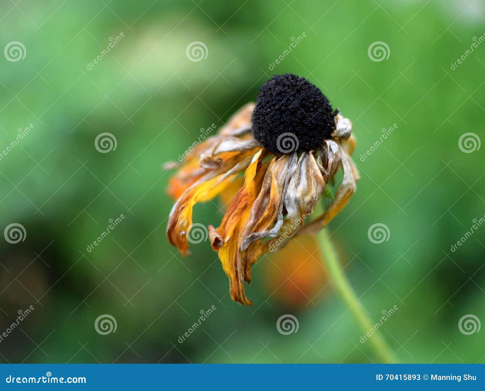 Flor amarela murchada
