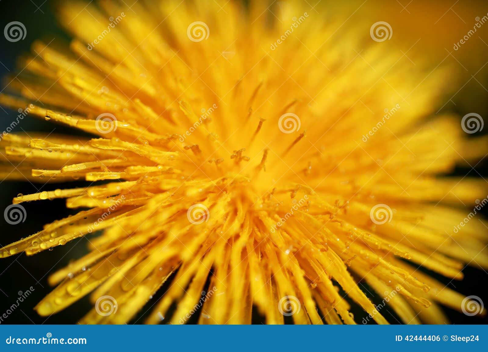 Flor amarilla con descensos de rocío, suma del diente de león de la primavera