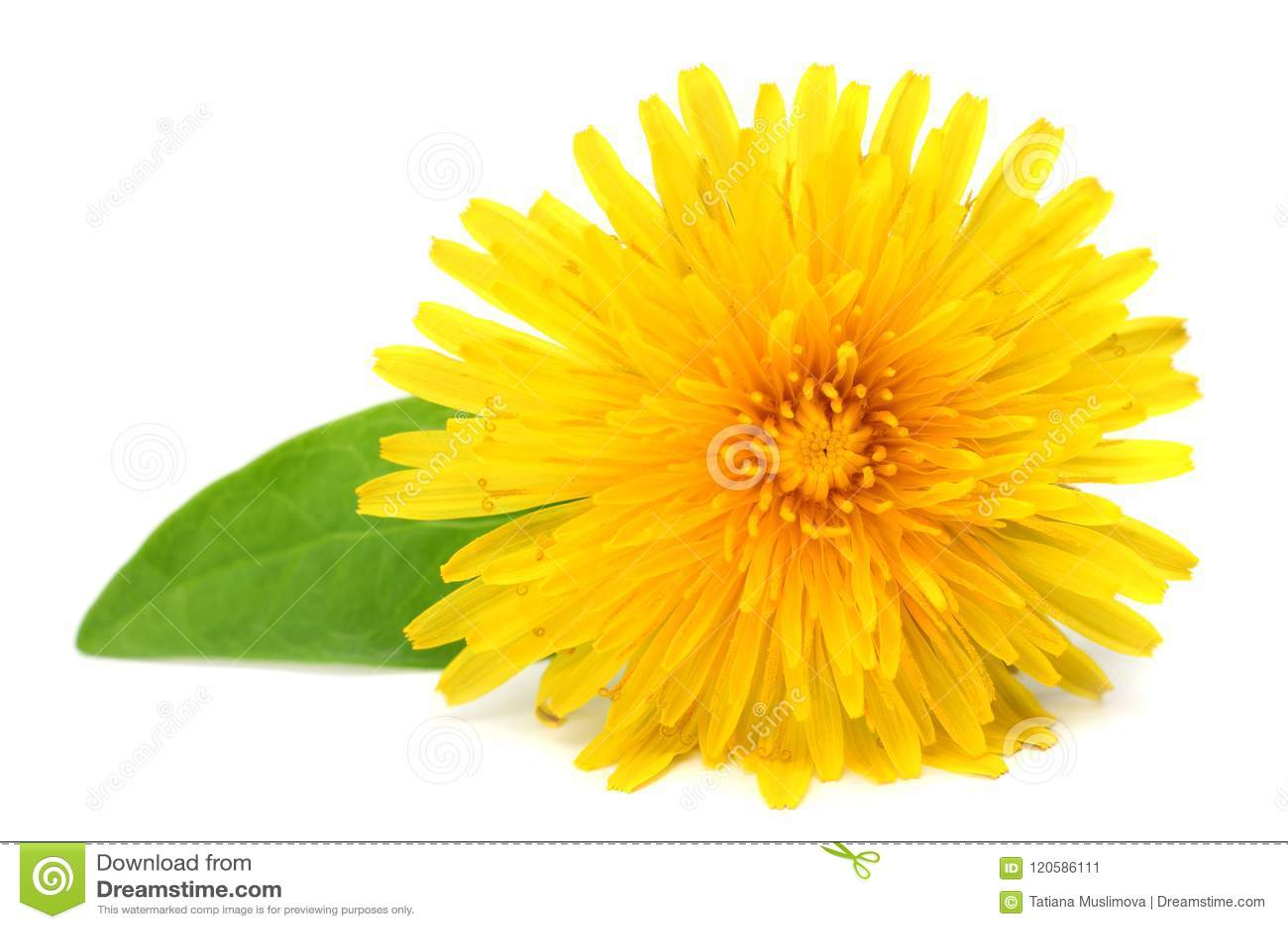 Flor amarilla con la hoja verde aislada en el fondo blanco