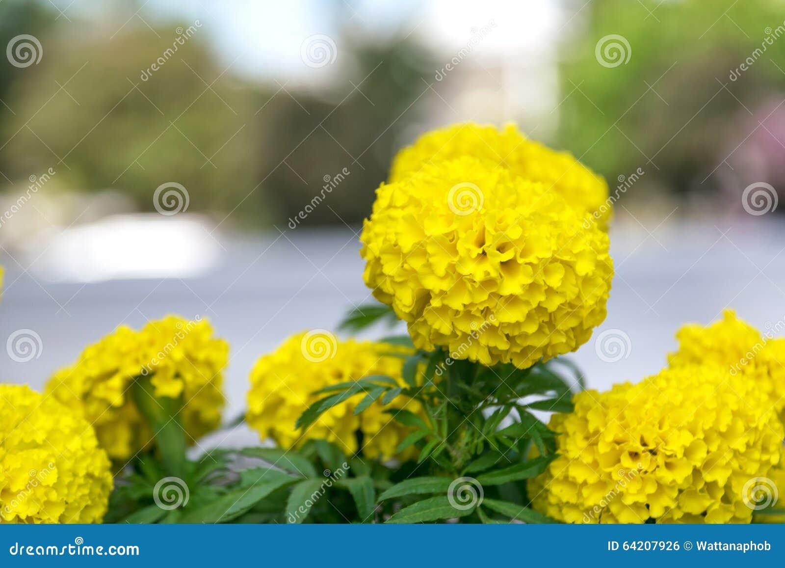 Flor amarilla de oro de la maravilla