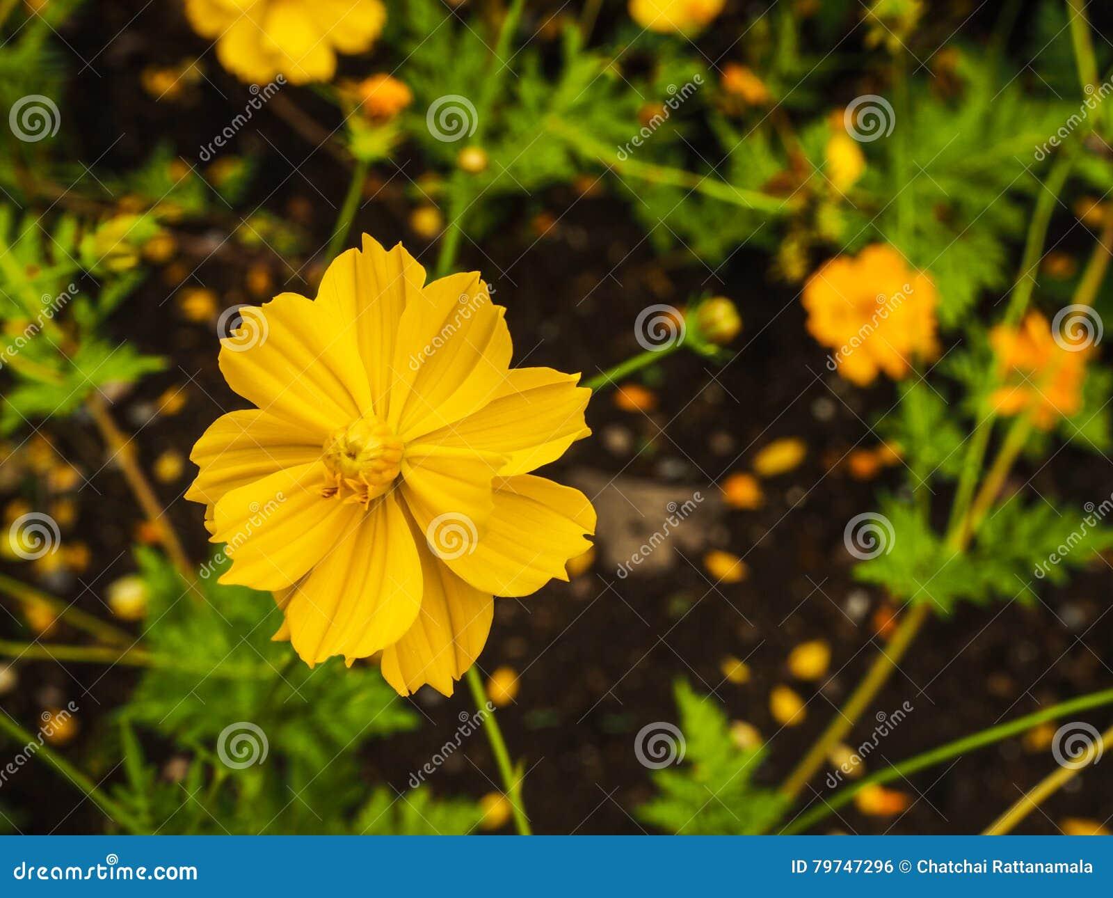 Flor amarilla del azufre del cosmos