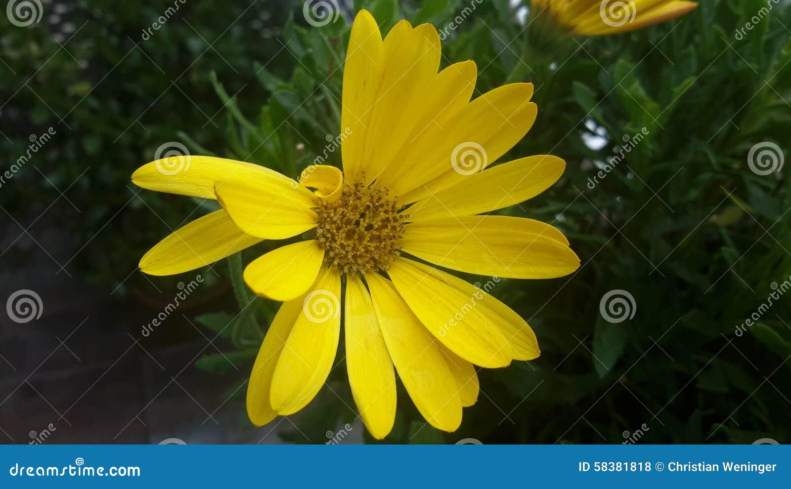 Flor amarilla del balcón